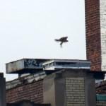 img_0086-juvie-flies-off-wilder