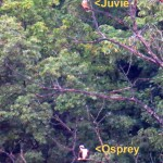 img_0010-juvie-falcon-and-osprey