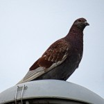 img_0013-pigeon-on-a-lamp-post