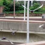 img_0018-pigeons-coming-atcha-mak