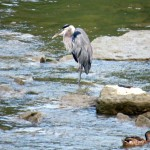 img_0063-gbh-in-river