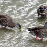 img_0066-ducks