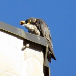img_0076-falcon-power
