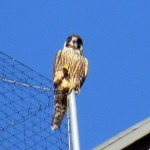 img_0112-falcon-power