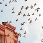 Pigeons in Panicked Flight -10-16-15
