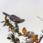 Mockingbirds at Medley Center -10-16-15