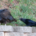 crow-pulls-at-tail-feather