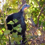 img_0005-turkey-in-a-tree