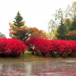 img_0011-burning-bushes-at-mc