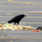 img_0012-crow-scares-everyone-away