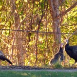 img_0015-3-turkeys