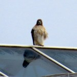 img_0023-hello-mr-red-tail-hawk