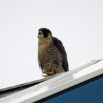 img_0055-unknown-falcon-at-mc