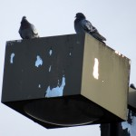 img_0061-pigeons-watching-bf-from-above-on-light-pole