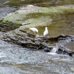 img_0022-gulls-on-the-river