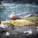 img_0024-big-gull