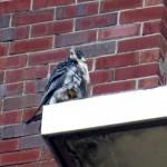 img_0044-bs-falcon