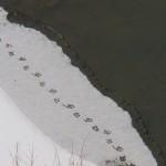 Duck Tracks -1-24-16