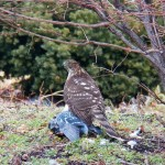 Coopers Hawk with Pigeon at MC -1-16-16