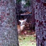 img_0041-deer