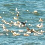 Long-tailed Duck Raft on Lake Ontario -2-2-16
