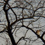 Red-tailed Hawks at Medley Center -2-3-16