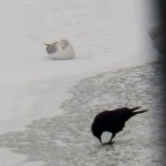 Crows and Gulls on the River Ice -2-15-16