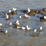 img_0072-gulls-in-the-river