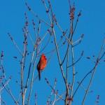 Singing Cardinal -3-6-16