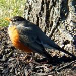 American Robin -3-6-16