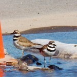 Killdeer -3-17-16