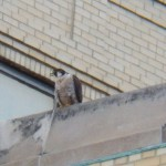 3rd Falcon on KO Bldg 20 -4-10-16