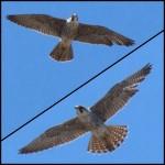 Juvie Peregrine Falcon Over TSB by Dana 4-16-16