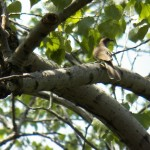 Black-billed Cuckoo in Church Woods -5-28-16