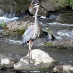 img_0005-gbh-in-river