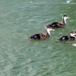 img_0034-quack-quack