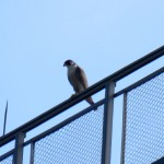 img_0095-st-falcon
