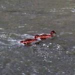 img_0014-quack-quack