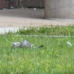 6-genesees-pigeon-10-23-16