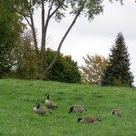 img_0040-canada-geese-at-shumway