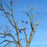 img_0062-cormorants-on-parkway-tree