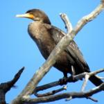 img_0063-cormorant