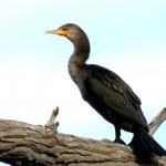 img_0064-cormorant