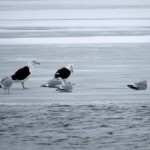 img_0008-black-backed-gulls
