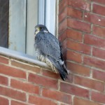 img_0084-bs-falcon