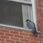 5-bs-falcon-2-4-17-2