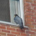 6-bs-falcon-2-4-17-2