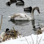 img_0044-swan-eating
