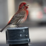 1-house-finch-entertainment-6-20-17