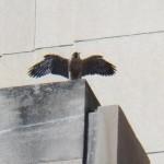 9-nice-wings-ontario-6-11-17